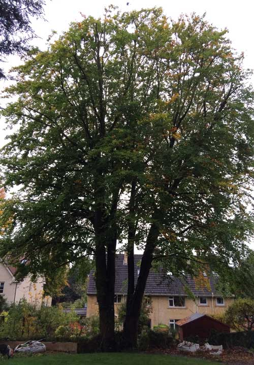Crown Reductions Beech Tree