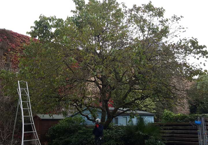 Crown Reductions Mulberry Tree